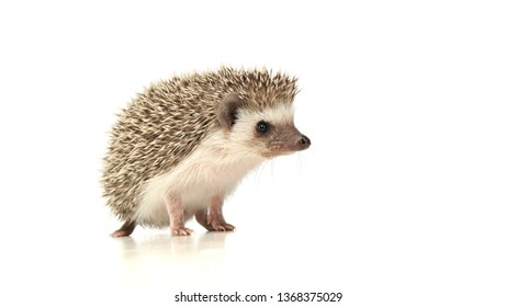 An adorable African white- bellied hedgehog standing on white background.