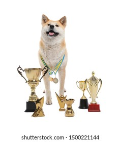 Adorable Akita Inu dog with champion trophies on white background