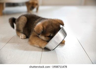 Adorable Akita Inu puppy eating from feeding bowl indoors