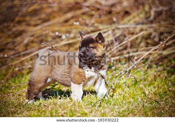 adorable american akita puppy