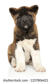Adorable American Akita sitting on white background. Animal themes