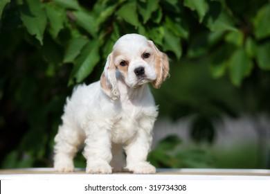 adorable american cocker spaniel puppy