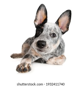 adorable australian cattle dog puppy lying down on white background