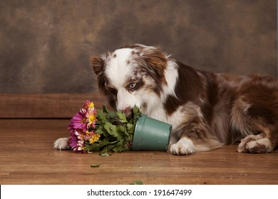 Adorable Australian Shepherd chewing potted flowers.