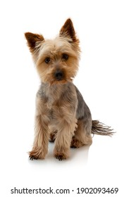 Adorable Australian Silky Terrier sitting, staring and waiting for the command isolated on white background with shadow reflection. Cute obedient dog. Fluffy sweet pet. Obedient dog.