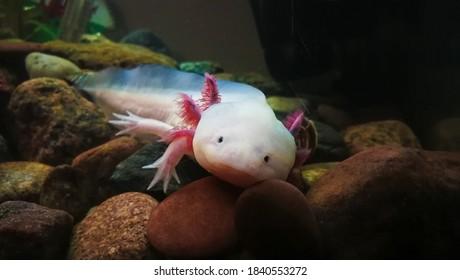 Adorable axolotl is exotic aquarium pet
