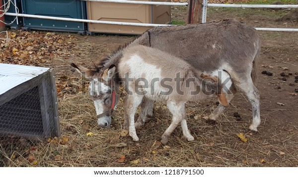 Adorable baby donkey with mother.  Baby is feeding from mom.  Beautiful brown and white patch colouring.