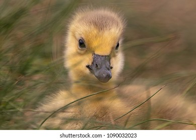 Adorable baby gosling in grass close up
