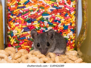 An adorable baby house mouse, Mus musculus, on top of a pile of spilled cereal in a pantry kitchen cabinet. The rodent is facing forward, and there is a colorful jar of candy shots behind him.
