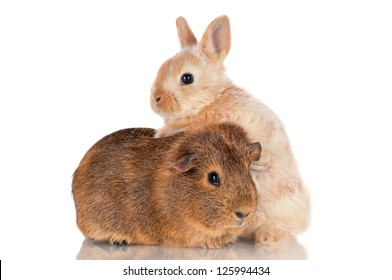 adorable baby rabbit and guinea pig