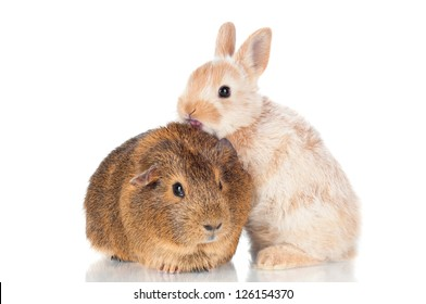 adorable baby rabbit standing on a guinea pig