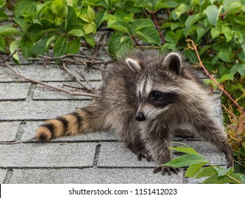 An adorable baby raccoon on top of a roof with light gray  asphalt shingles. The animal is facing forward, and looking to the left. There are green vines in the sunny background.