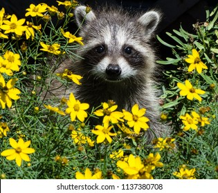 An adorable baby raccoon sitting in the middle of a bed of yellow flowers looking directly at the camera.