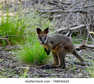 Adorable baby wallaby in a wild in Australia