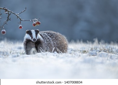 adorable badger walking in snow with frozen apples next to him