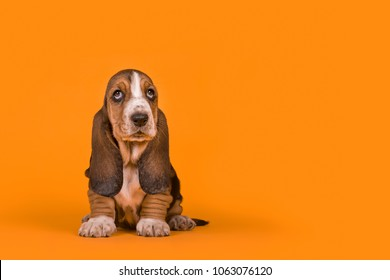 Adorable basset hound puppy dog sitting on an orange background