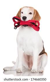adorable beagle dog holding a leash