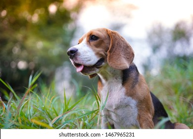 An adorable beagle dog sitting  outdoor in the park.