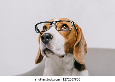 adorable beagle dog wearing glasses isolated on grey