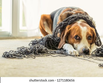 An adorable Beagle mixed dog is laying  on the floor inside a house and is all tangled up in a big ball of grey yarn while he gives a puppy face.