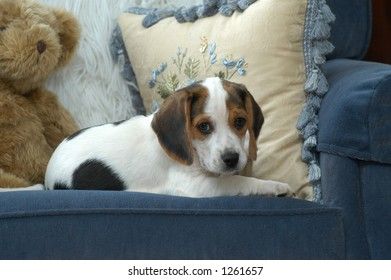 Adorable beagle puppie on her favorite blue chair with a stuffed teddy bear