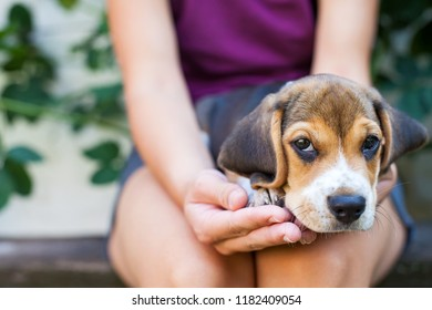 Adorable beagle puppy cuddling with female owner. Tricolor purebred puppy