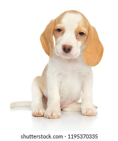 Adorable Beagle puppy sits in front of white background. Baby animal theme
