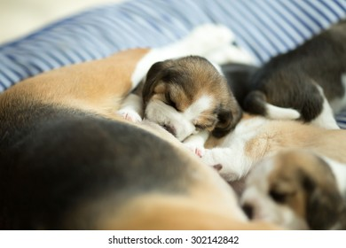 Adorable Beagle Puppy's drinking milk from mom (Soft Focus)