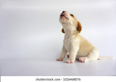 Adorable beagle white brown color is howl and look on above. And he sit with 2 back leg infront an isolate white background. There has copy space for text. Dog on white screen.