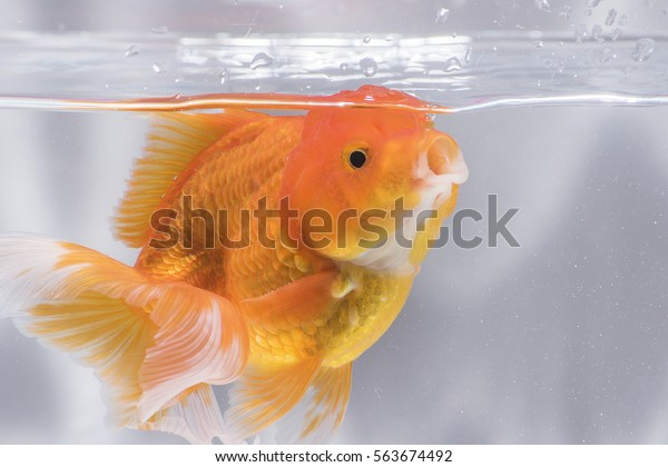 Adorable beautiful fantail goldfish movement & funny face with bubbles & water pumps in the tank on darkness background