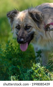 adorable beige fluffy mestizo dog in summer on a background of green grass