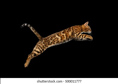 Adorable Bengal Cat Jumping on isolated Black Background