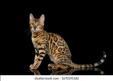 Adorable Bengal Cat Sitting on Isolated Black Background, side view
