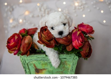 Adorable Bichon Frise pure breed puppy with flower arangement