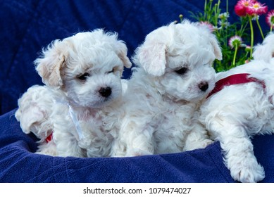 Adorable Bichon Frise pure breed litter