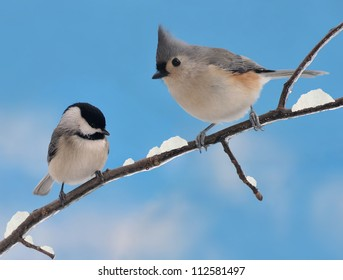 An adorable Black- capped Chickadee (Poecile atricapillus) and Tufted Titmouse (Baeolophus bicolor) on a snowy winter branch.