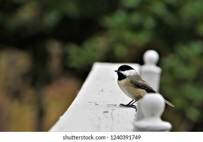 An adorable black capped chickadee (Poecile atricapillus) perching on the white wooden fence on the blurry garden and bokeh background, Autumn in GA USA.