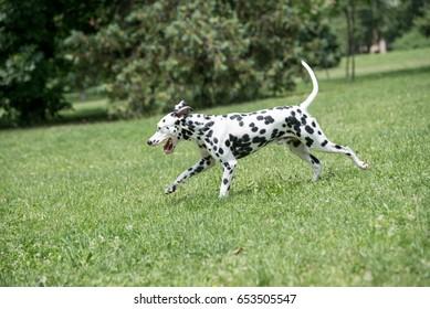 Adorable black Dalmatian dog outdoors in summer