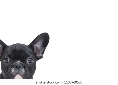 Adorable black French bulldog,Portrait of a puppy cute curiously peeking on white background in studio.Animal,Pets and Veterinary Concept.Copy space empty blank for text.