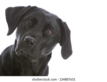 Adorable Black Lab.  Isolated on white.  Room for your text.
