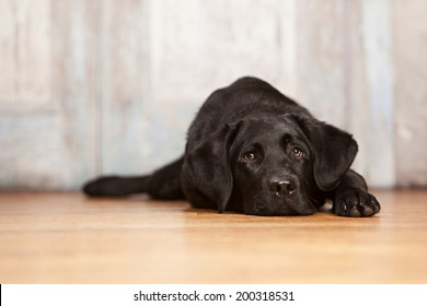 Adorable black lab lying on a wood floor.  Room for your text.