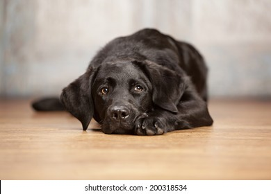 Adorable black lab lying on a wood floor.