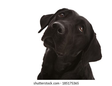 Adorable black lab puppy looking up at her owner.  Isolated on white.  Room for your text.