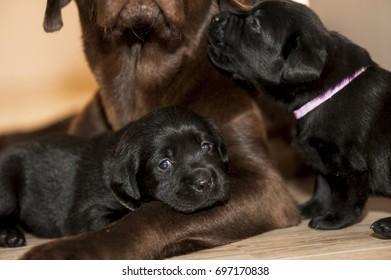 Adorable black labrador puppies with their mother.