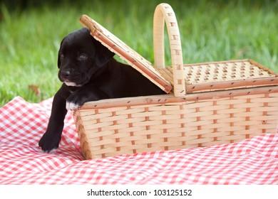 An adorable black labrador puppy inside a picnic basket.