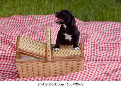 An adorable black labrador puppy next to a picnic basket.