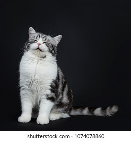 Adorable black silver blotched young british shorthair cat with green eyes sitting with eyes closed and smiling face into lens isolated on black background