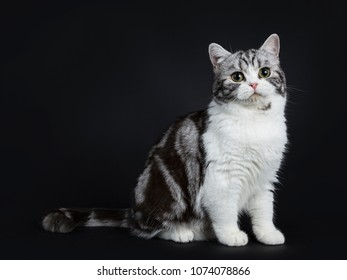 Adorable black silver blotched young british shorthair cat with green eyes sitting side ways and looking into lens isolated on black background