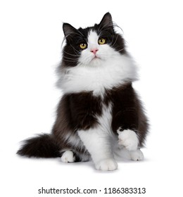 Adorable black smoke Siberian cat kitten sitting / playing facing front looking up with bright yellow eyes, isolated on white background wit one paw in air