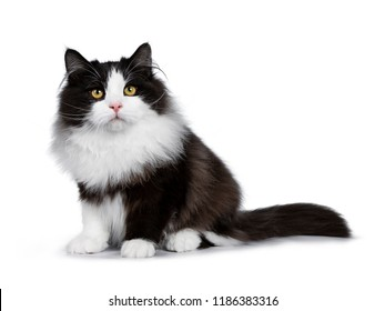 Adorable black smoke Siberian cat kitten sitting side ways looking to camera with bright yellow eyes, isolated on white background